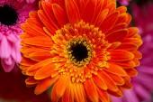 Large yellow-orange gerbera flower — Stock Photo