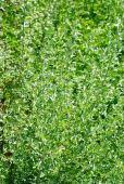 Wormwood (Artemisia absinthium L.) on green Background — Stock Photo