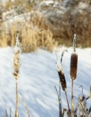 The reeds in winter — Stock Photo