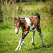 Foal — Stock Photo