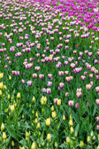 Bright colorful flowers tulips for background, posters, cards — Stock Photo