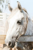 Beautiful purebred horse over stable door — Stock Photo