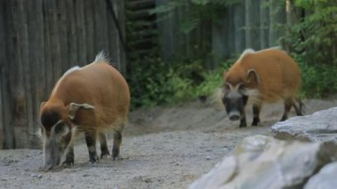 Red River Hog — Stock Video