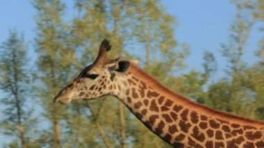 Giraffe — Stock Video