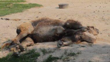 Smutny Camel w zoo — Wideo stockowe