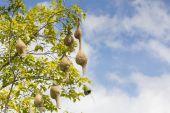 Baya weaver bird nest  branch on tree — Stock Photo