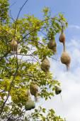 Ninho de pássaro tecelão de Baya ramo na árvore — Fotografia Stock
