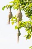 Baya уивер птичье гнездо — Стоковое фото