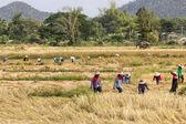 Os agricultores estão colhendo arroz — Fotografia Stock