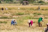 Landbouwers zijn oogsten rijst — Stockfoto