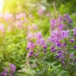 Purple flowers background — Stock Photo #51995225