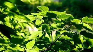 Boom leaf op zonsondergang stralen bij avond — Stockvideo