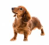 Red dog breed dachshund — Stock Photo