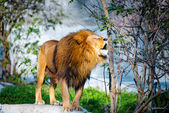 Mighty lion roars in the forest — Stock Photo