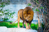 Mighty Lion — Stock Photo