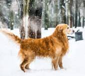 Red retriever — Stock Photo