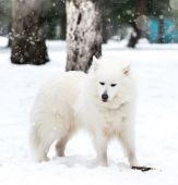 Husky blanc — Photo