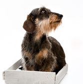 Longhair dachshund — Stock Photo