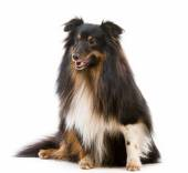 Sheltie dog breed — Stock Photo