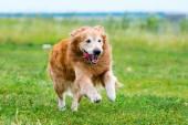 Running Golden retriever dog — Stock Photo