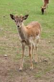 Deer looking — Stock Photo
