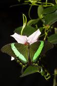 Chromis zielony — Zdjęcie stockowe