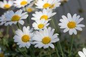 Garden daisies — Stock Photo
