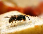 Wasps eating sweet food — Stock Photo