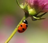 Ladybird climbing flower stem — Stock Photo