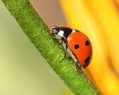Ladybird climbing flower stem — 图库照片