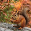 Cute red squirrel in autumn — Stock Photo #56664005