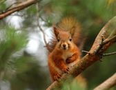 Cute red squirrel in pine tree — Stock Photo