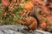 Cute red squirrel in autumn — Stock Photo