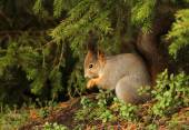 Red squirrel in natural outdoor environment — Stock Photo