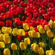 Red and yellow tulips field — Stock Photo #73509873