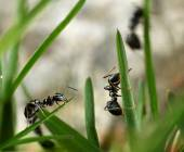 Black ants invasion conquering garden — Stock Photo