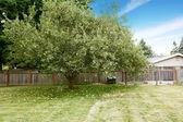 生长在后院的苹果树 — 图库照片