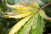 Marijuana leaf during harvest. — Stok fotoğraf