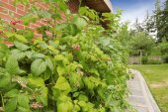 зеленый куст с спелой малины, растет в кирпичной стене. — Стоковое фото