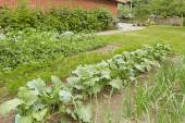 Backyard garden bed with growing green onion and other cultures — Stok fotoğraf