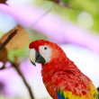 Macaws. Scarlet red large parrot. — Stock Photo #80580626