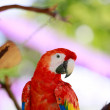 Macaws. Scarlet red large parrot. — Stock Photo #80580634