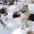 Winter Wolf on a Rock — Stok fotoğraf #58821093