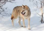Timber Wolf in Winter — Stock Photo