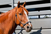 Close Up of Horse by a Trailer — Stock Photo