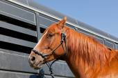 Close Up of Horse by a Trailer — Foto Stock