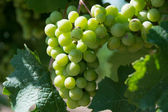 White Grapes Bunch — Stock Photo
