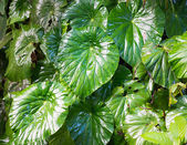 Wild variety of eddoes plant leaves — Stock Photo