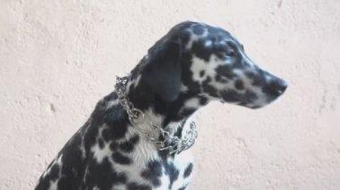 Purebreed female Dalmatian dog — Stock Video