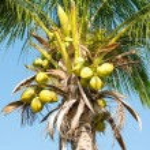 Coconut palm tree — Stock Photo #61050453